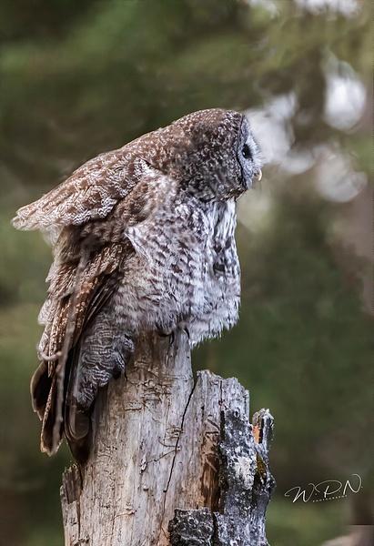 GGO_R8A6447 - Great Grey Owls - Walter Nussbaumer Photography