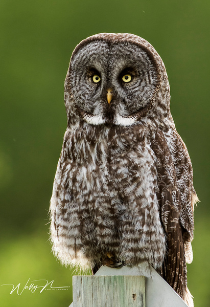 Great Gray Owl_ - Great Grey Owls - Walter Nussbaumer Photography