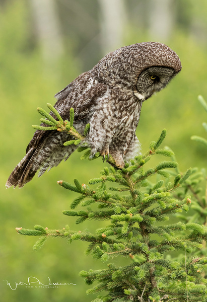 Great Gray Owl_00220 - Great Grey Owls - Walter Nussbaumer Photography