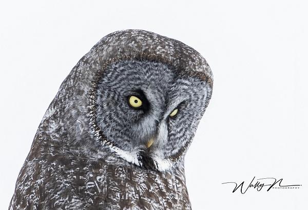 GGO_R8A7141 - Great Grey Owls - Walter Nussbaumer Photography