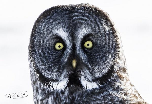 GGO-2020-03-21_R8A6984 - Great Grey Owls - Walter Nussbaumer Photography