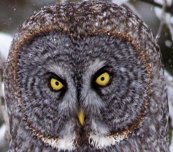 Great Grey Owl_11_04_2013_IMG_6460 - Great Grey Owls - Walter Nussbaumer Photography