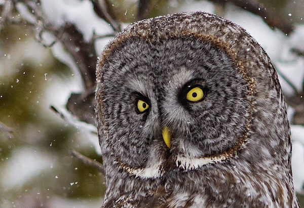 Great Grey Owl_11_04_2013_IMG_6469Close-up - Great Grey Owls - Walter Nussbaumer Photography