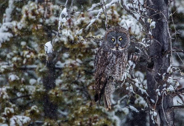 Great Grey Owl_073A6488 - Great Grey Owls - Walter Nussbaumer Photography