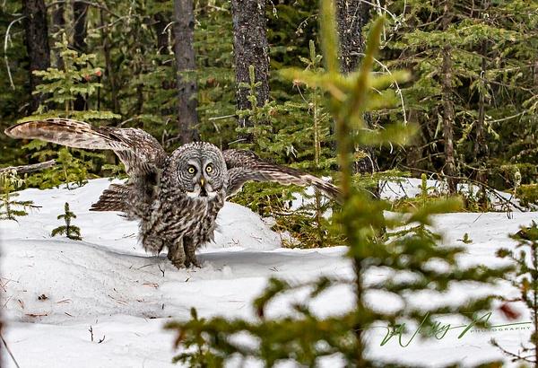 Great Grey Owl_29_03_2013_IMG_6405 - Great Grey Owls - Walter Nussbaumer Photography