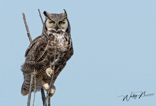 GHO_30_03_2013073A6399 - Great Horned Owl - Walter Nussbaumer Photography