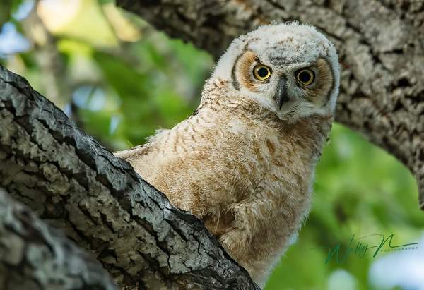 Fledgling_0R8A3866 - Great Horned Owl - Walter Nussbaumer Photography