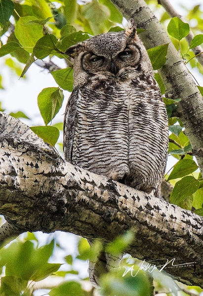 GHO_DSC1164 - Great Horned Owl - Walter Nussbaumer Photography