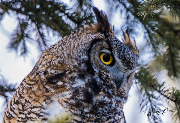 GHO_DSC6581 - Great Horned Owl - Walter Nussbaumer Photography