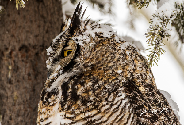 GHO_05-02-2017_0R8A6993 - Great Horned Owl - Walter Nussbaumer Photography