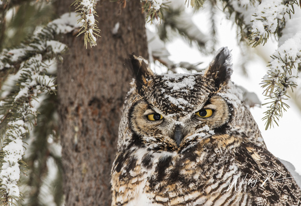 GHO_0R8A7012 - Great Horned Owl - Walter Nussbaumer Photography