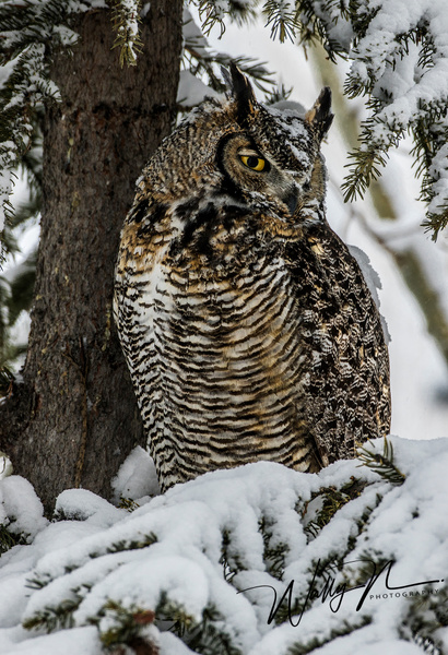 GHO_05-02-2017_0R8A6975 - Great Horned Owl - Walter Nussbaumer Photography