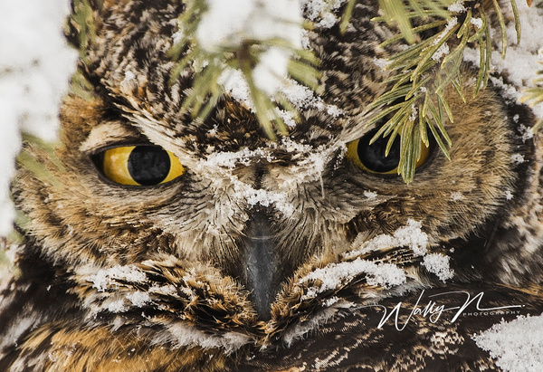 GHO CL_05-02-2017_0R8A6980 - Great Horned Owl - Walter Nussbaumer Photography