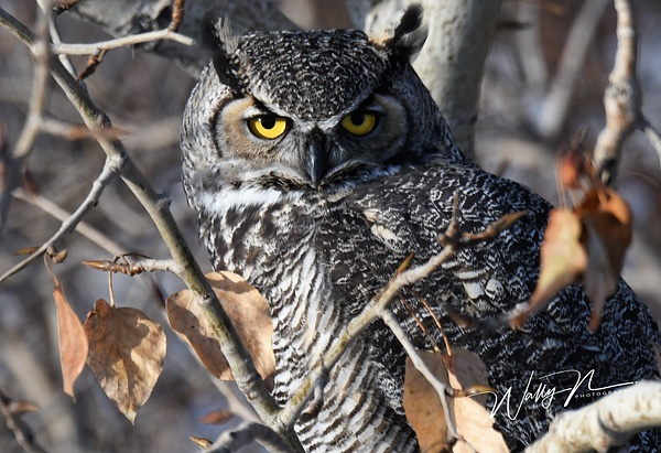 GHO_DSC_0072 - Great Horned Owl - Walter Nussbaumer Photography