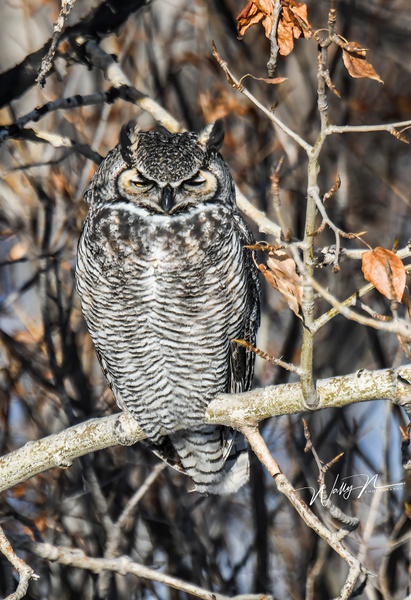 GHO_DSC_0064 - Great Horned Owl - Walter Nussbaumer Photography