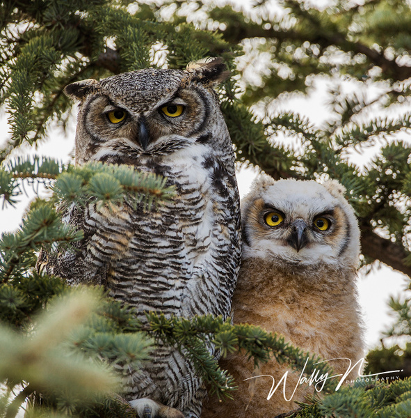 GHO_73A8509 - Great Horned Owl - Walter Nussbaumer Photography