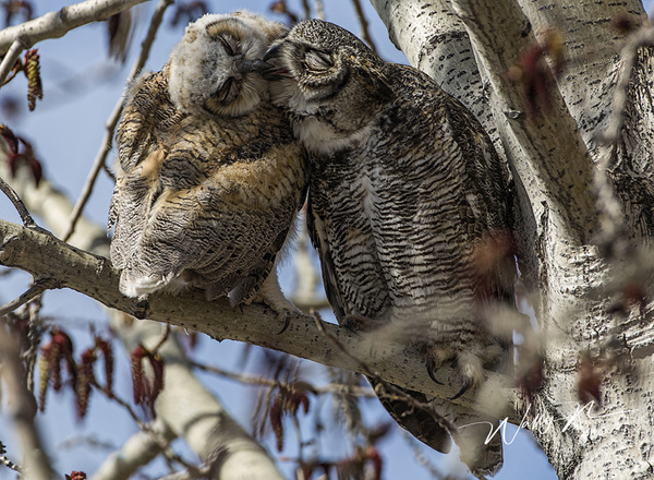 GH andOwlet_73A8600 - Great Horned Owl - Walter Nussbaumer Photography