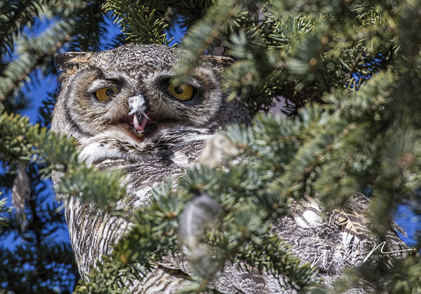 GHO_73A8421 - Great Horned Owl - Walter Nussbaumer Photography