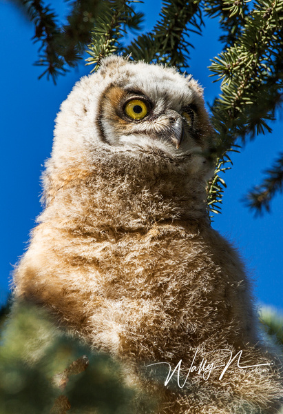 GHO Chic_73A8414 - Great Horned Owl - Walter Nussbaumer Photography