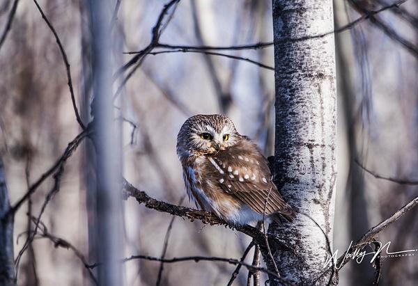 Saw Whet_DSC6423 - Saw Whet Owl - Walter Nussbaumer Photography