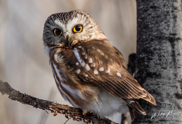 Saw Whet_0R8A6772 - Saw Whet Owl - Walter Nussbaumer Photography