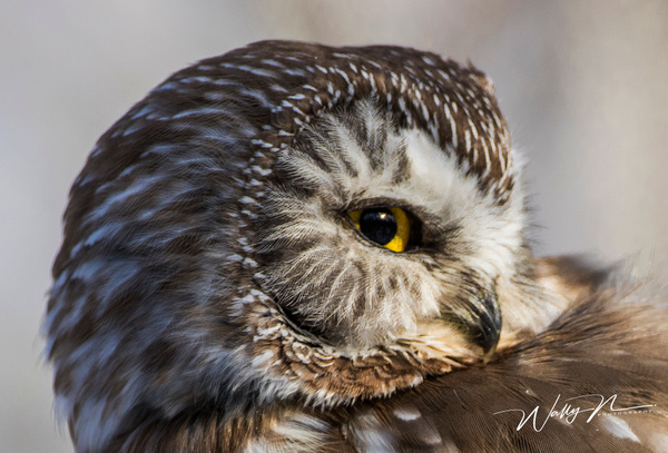 Saw Whet_0R8A6829 - Saw Whet Owl - Walter Nussbaumer Photography