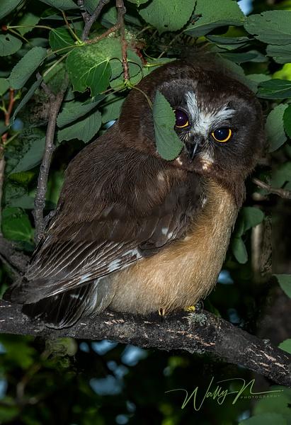 juvenal  Saw-whet Owl_DSC_1295 - Saw Whet Owl - Walter Nussbaumer Photography