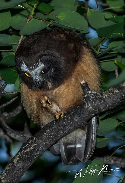 juvenal  Saw-whet Owl_DSC_1290 - Saw Whet Owl - Walter Nussbaumer Photography