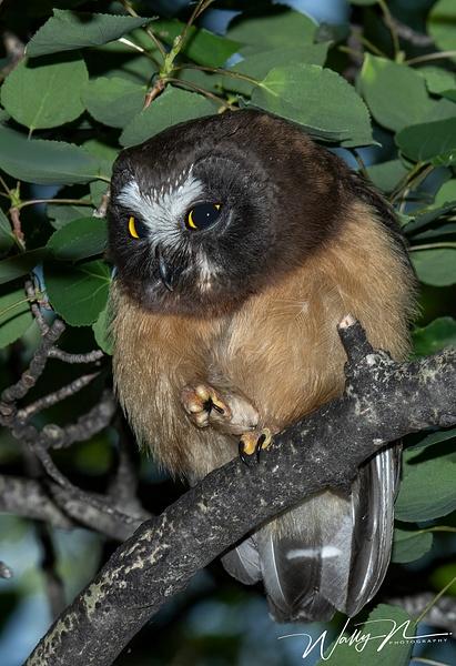 juvenal  Saw-whet Owl_DSC_1291 - Saw Whet Owl - Walter Nussbaumer Photography