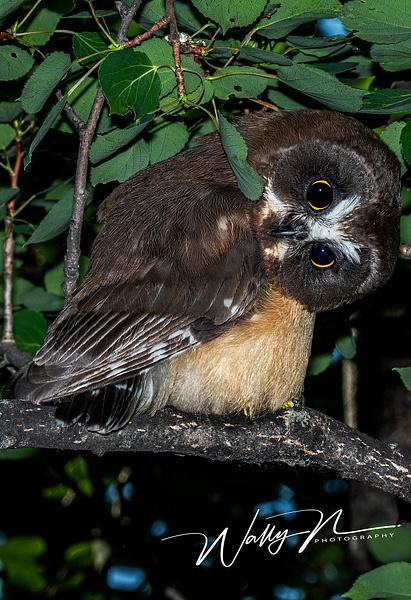 juvenal  Saw-whet Owl_DSC_1296 - Saw Whet Owl - Walter Nussbaumer Photography