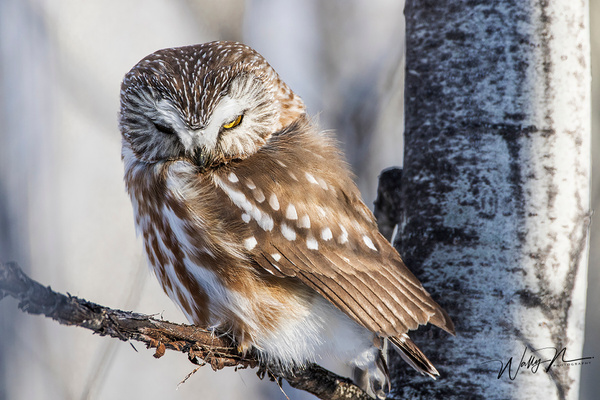Saw Whet 5_0R8A6725 - Saw Whet Owl - Walter Nussbaumer Photography