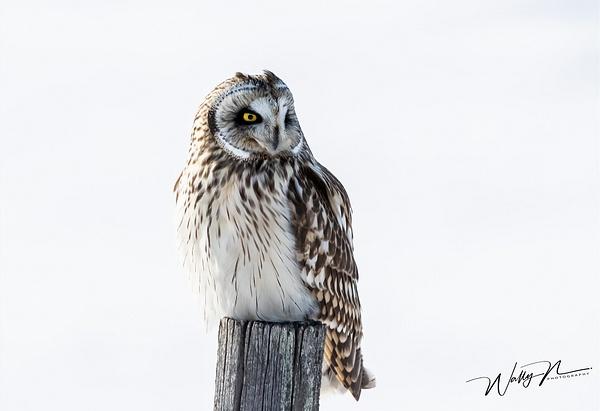 SEO_R8A0349 - Short Eared Owl - Walter Nussbaumer Photography