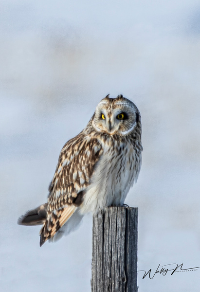 SEO_R8A0337 - Short Eared Owl - Walter Nussbaumer Photography