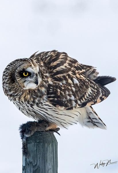 SEO_R8A0231 - Short Eared Owl - Walter Nussbaumer Photography