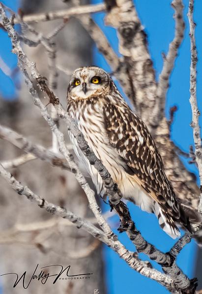 SEO_DSC4929 - Short Eared Owl - Walter Nussbaumer Photography