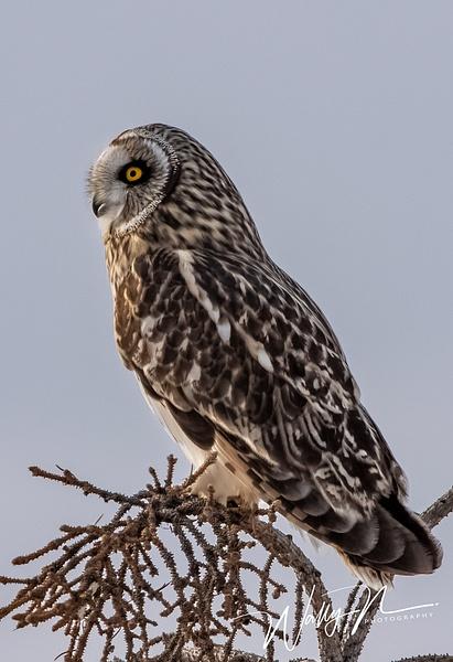 SEO_19-02-2019_R8A0018 - Short Eared Owl - Walter Nussbaumer Photography
