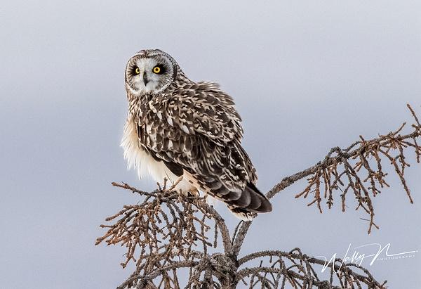 SEO_19-02-2019_R8A0181 - Short Eared Owl - Walter Nussbaumer Photography