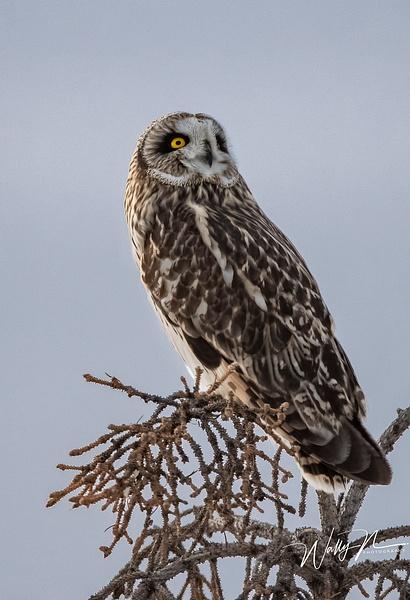 SEO_19-02-2019_R8A0104 - Short Eared Owl - Walter Nussbaumer Photography