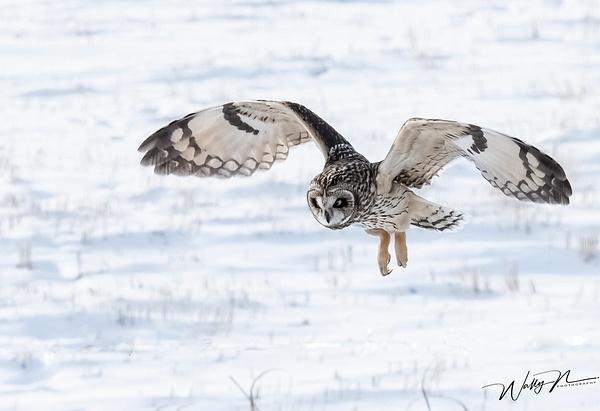 SEO_DSC4807 - Short Eared Owl - Walter Nussbaumer Photography