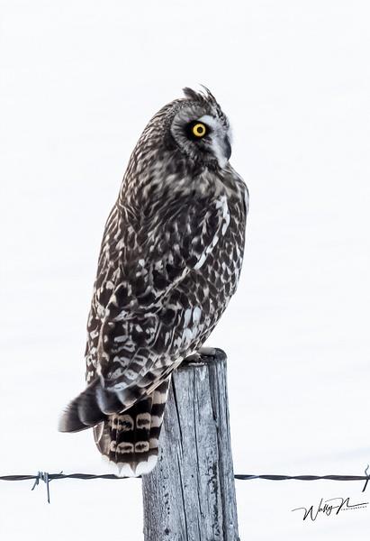 SEO_DSC4790 - Short Eared Owl - Walter Nussbaumer Photography
