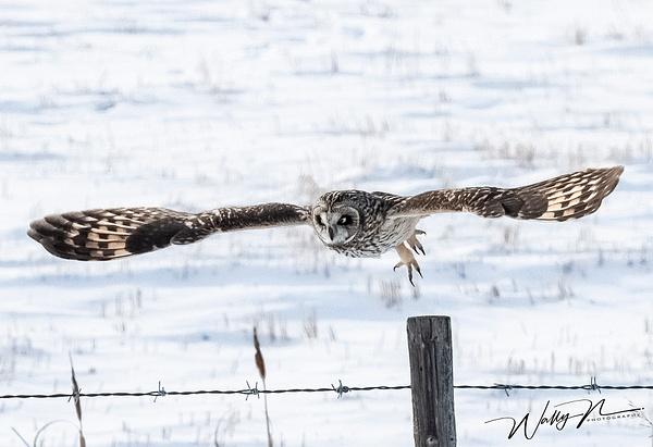 SEO_DSC4804 - Short Eared Owl - Walter Nussbaumer Photography