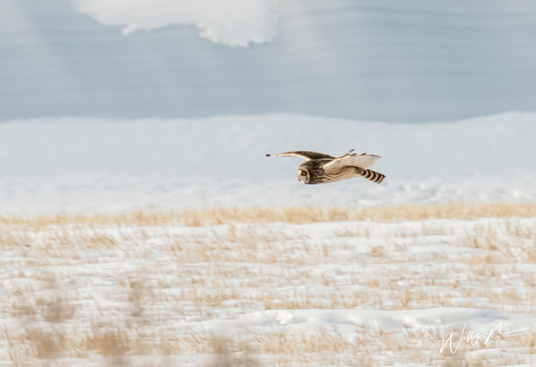 SEO_DSC4770 - Short Eared Owl - Walter Nussbaumer Photography