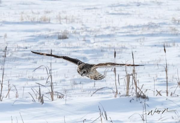 SEO_DSC4808 - Short Eared Owl - Walter Nussbaumer Photography