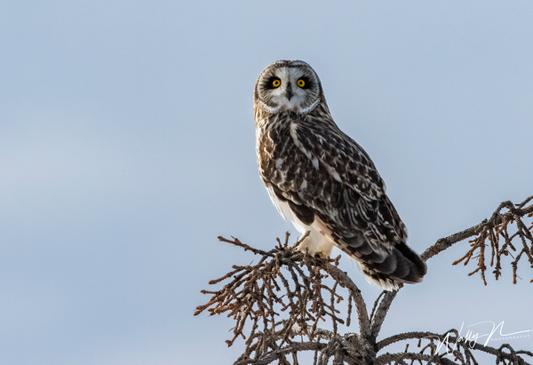 SEO_R8A9991 - Short Eared Owl - Walter Nussbaumer Photography