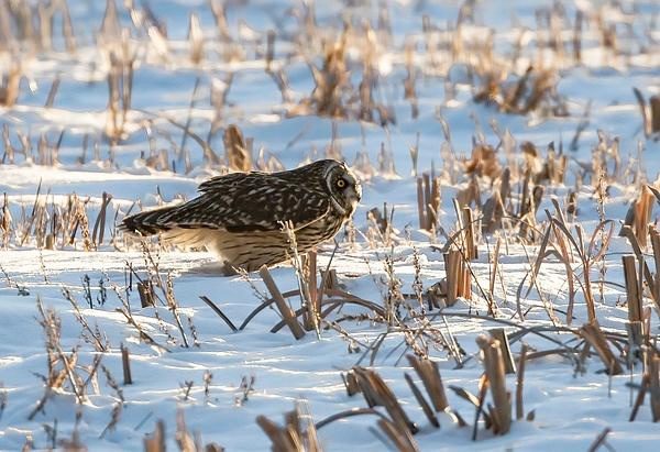 SEO_R8A9951 - Short Eared Owl - Walter Nussbaumer Photography