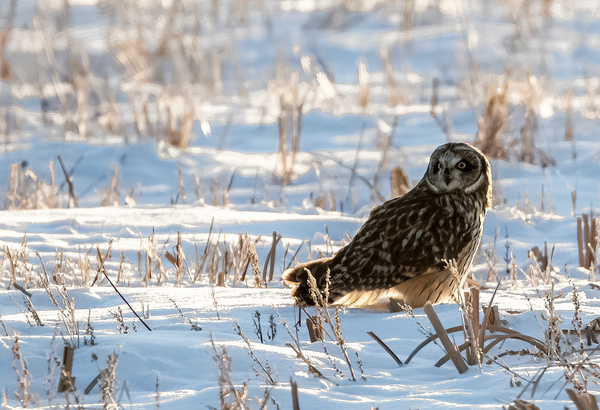 SEO_R8A9946 - Short Eared Owl - Walter Nussbaumer Photography
