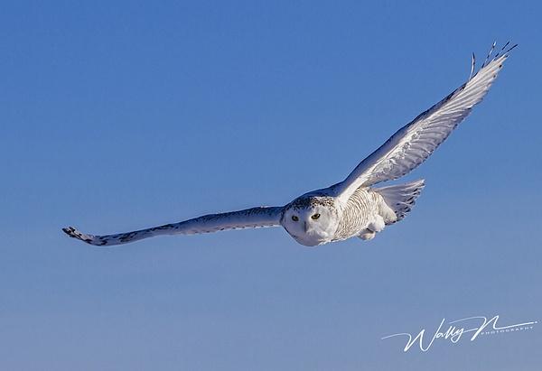 Snowy OwlB_16_02_2013_IMG_5859 - Snowy Owl - Walter Nussbaumer Photography