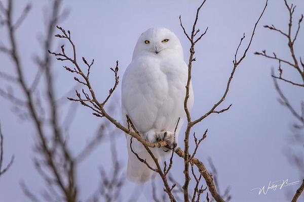 SO_IMG_6066 - Snowy Owl - Walter Nussbaumer Photography