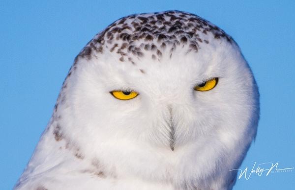 Snowy Owl_MG_5917 - Snowy Owl - Walter Nussbaumer Photography