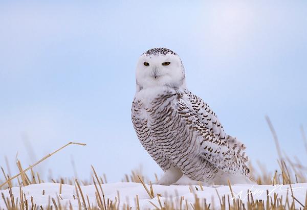 Snowy Owl_16_02_2013_IMG_5956 - Snowy Owl - Walter Nussbaumer Photography